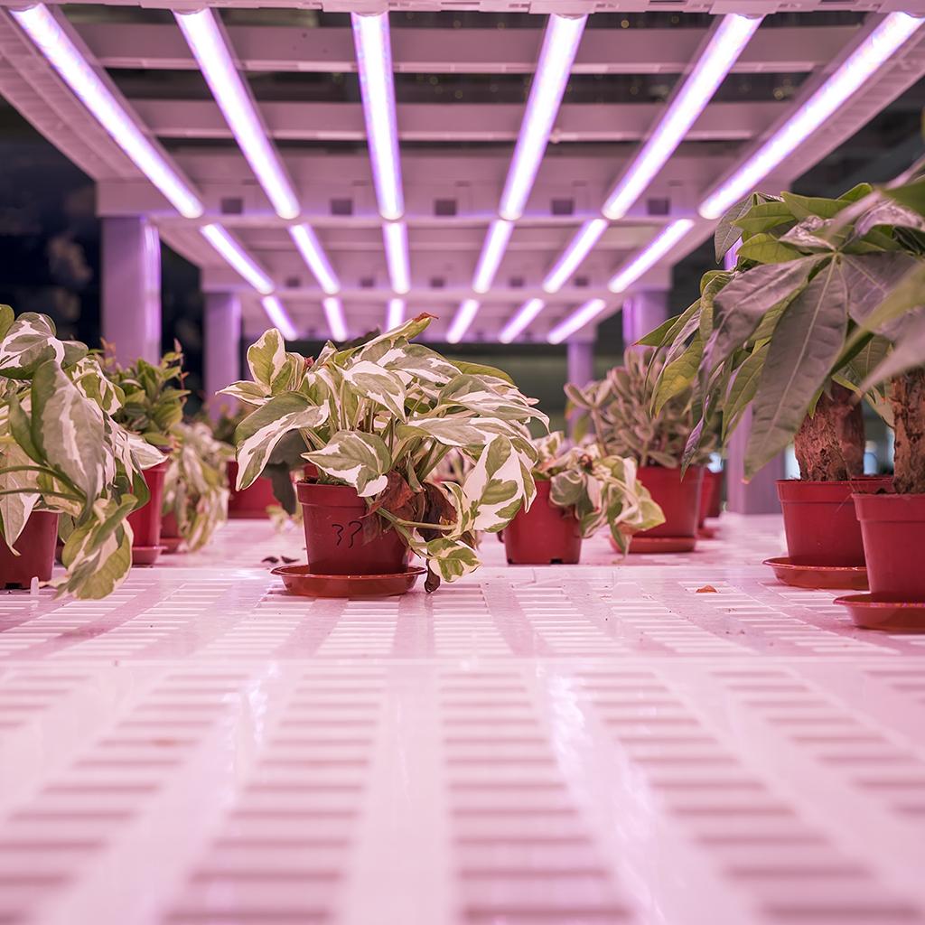 Ivy in LED UV Lights