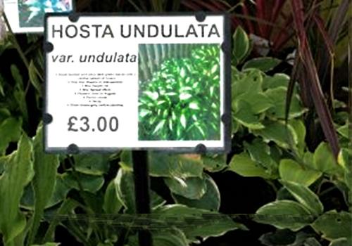 Bed card identifying Hosta Undulata